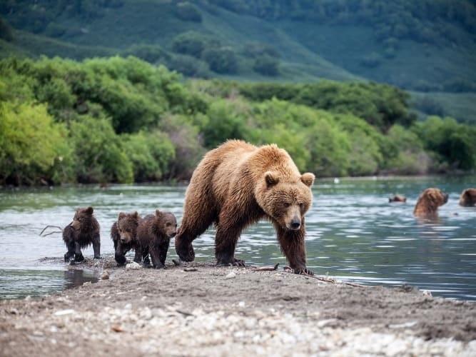 Медведи на Байкале