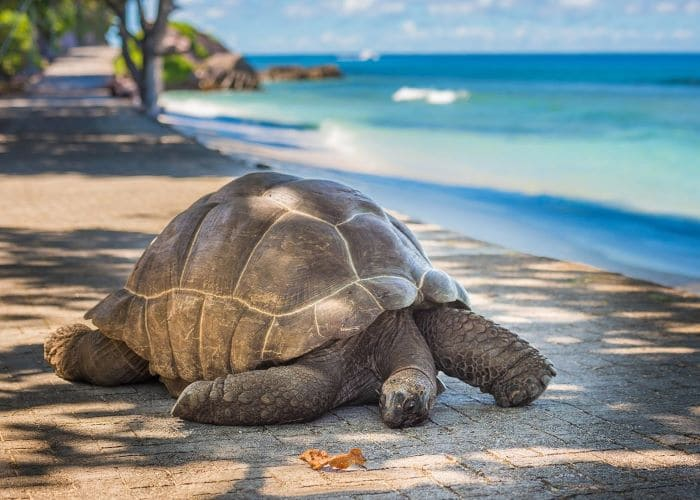 Что посмотреть на Сейшелах. Сейшельские черепахи на острове Прайслин